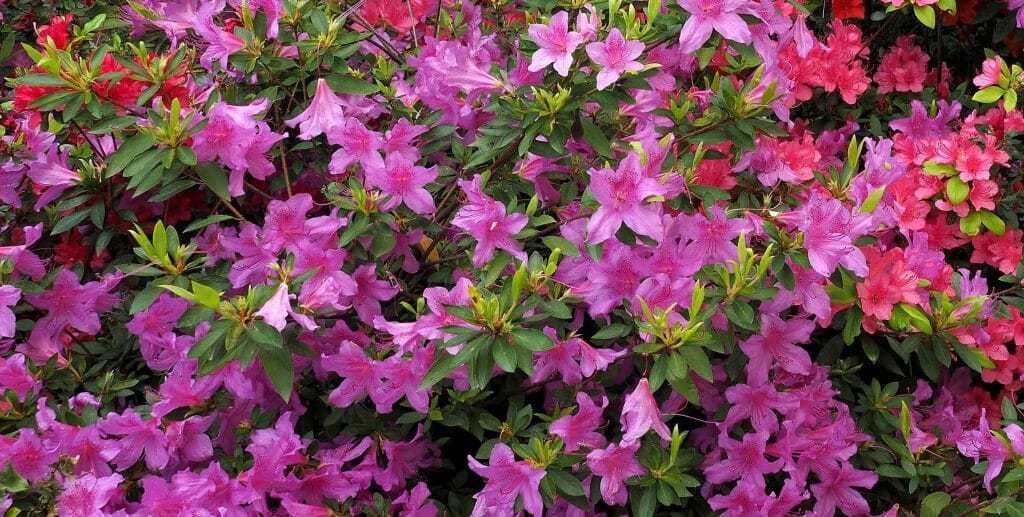 pruning azaleas properly increases blooms