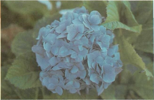 changing the color of hydrangeas from pink to blue