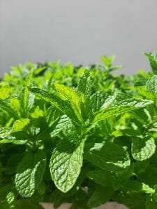 to find out how to harvest and store mint like this