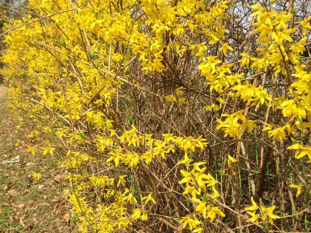 overgrown forsythia branches with arching habit bearing yellow forsythia flowers