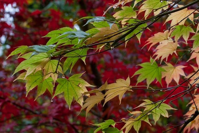 Silver maple is one of the best trees to plant near a house