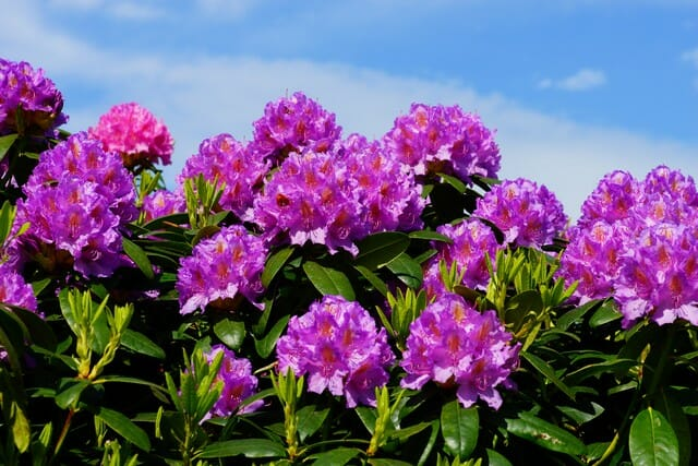 Not to be confused with evergreen azaleas