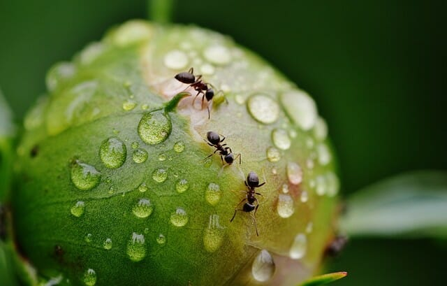 When looking for natural ways to get rid of ants, try some home remedies.
