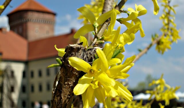 forsythia bushes have a beautiful show of spring flowers