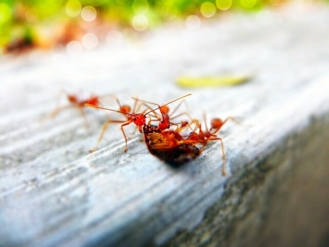 Imported fire ant colonies are a serious nuisance.