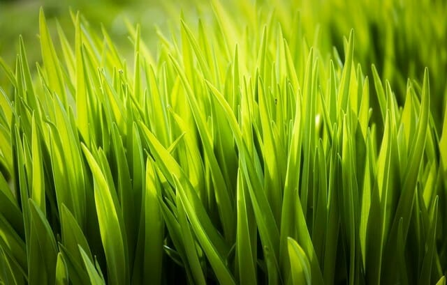 for a beautiful lawn, spread a thin layer of organic matter onto the dense soil